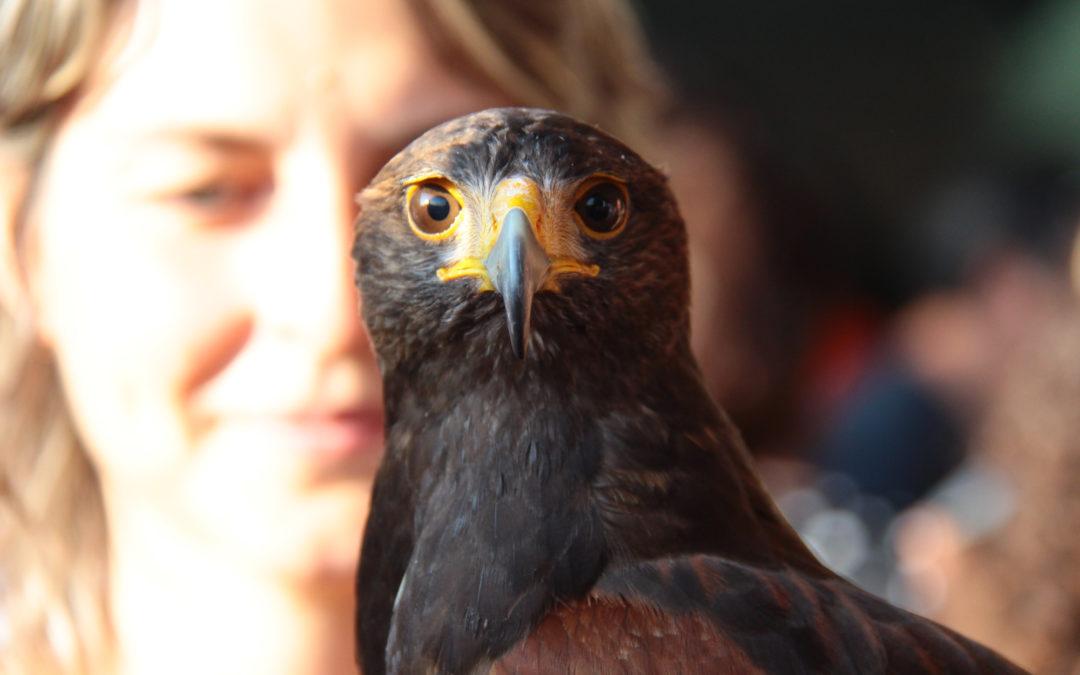 Domenica 1 ottobre Spettacolo di falconeria